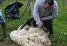 tosatura_pecore